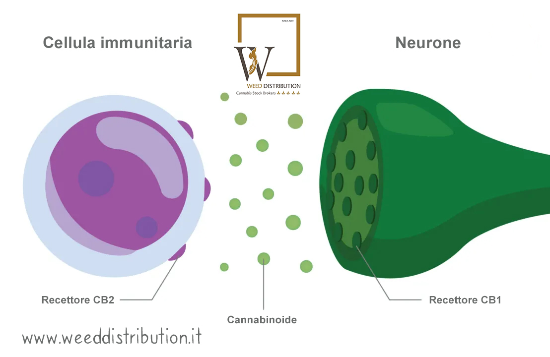 Endocannabinoidi CBD